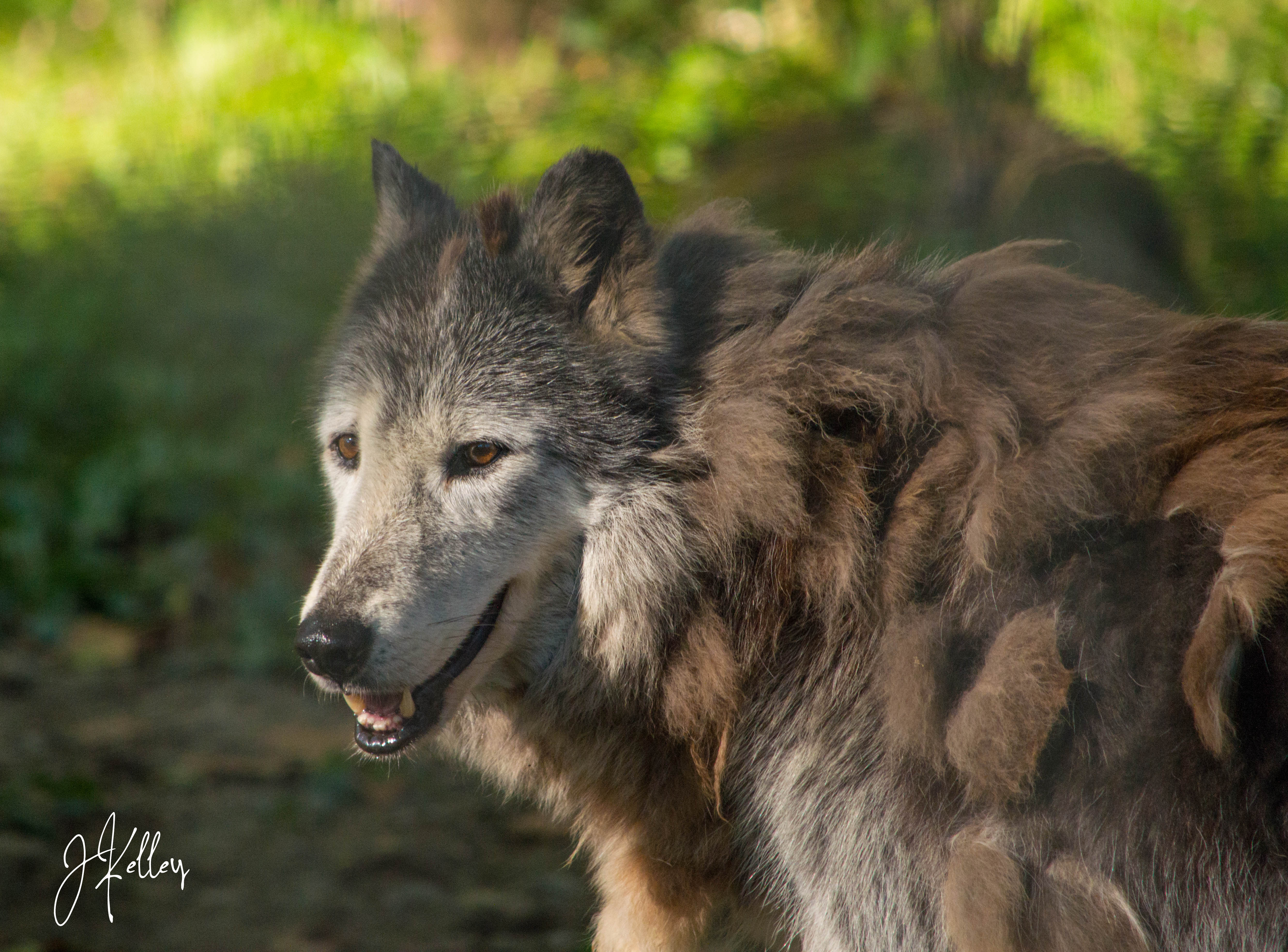 Wolf Sanctuary of PA (Speedwell)