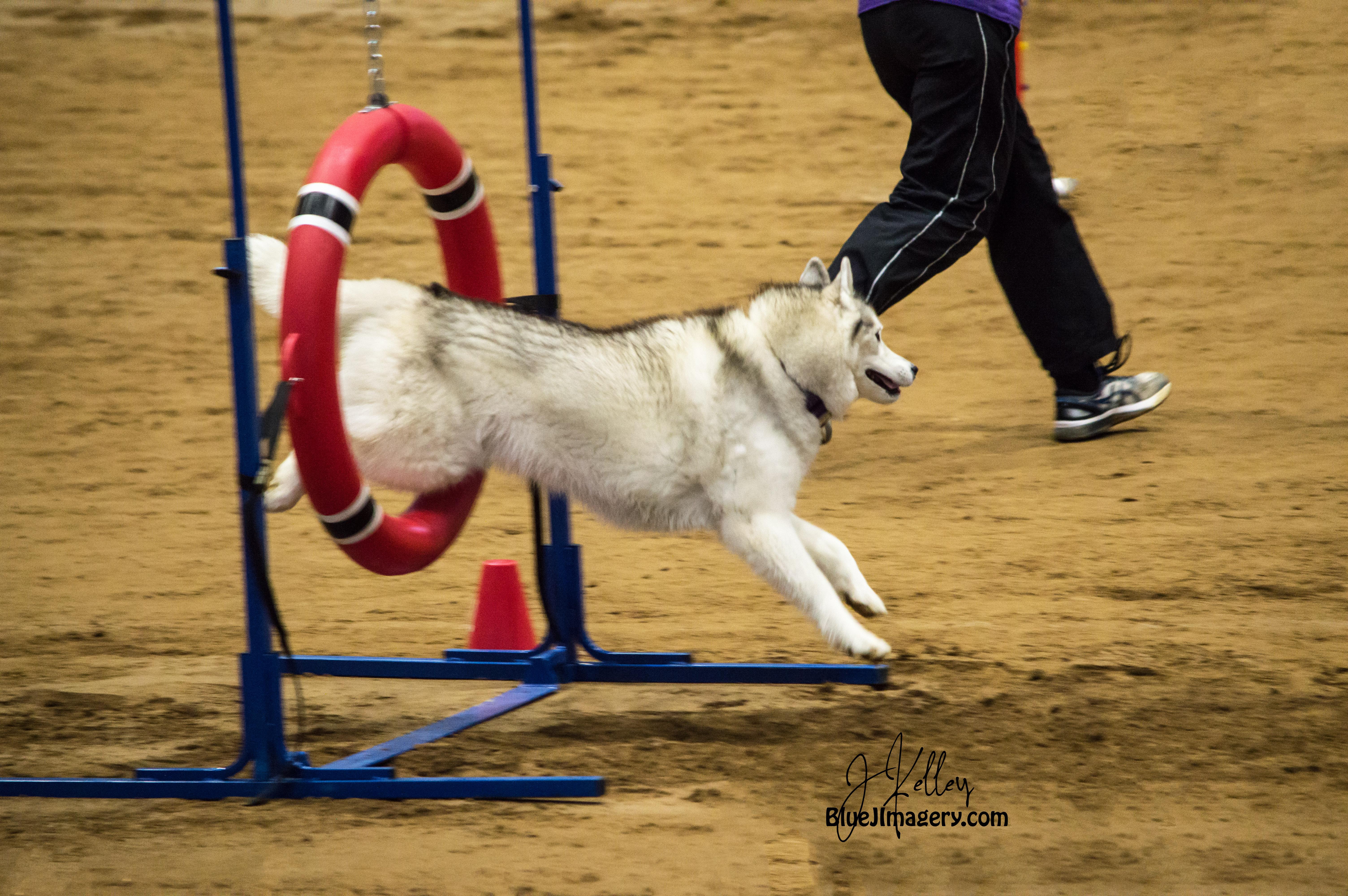 Canine Agility! WoW!